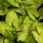 syngonium-podophyllum-v-white-butterfly